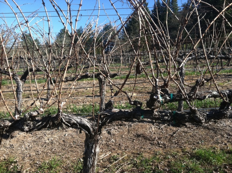 Vines Ready For Pruning