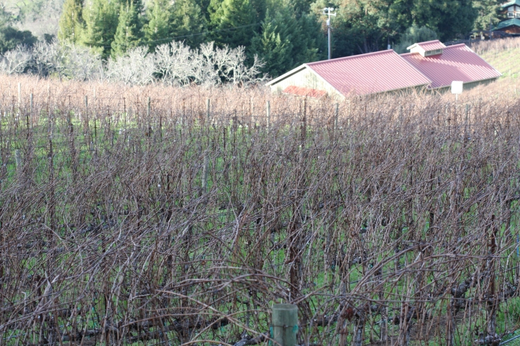 The Vineyard January 2015 Before Pruning
